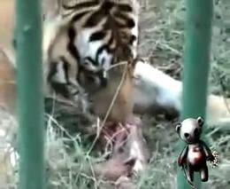 Жертва тигра