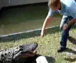 Дошутился с крокодилом