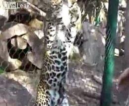 Кормление с рук леопарда в зоопарке