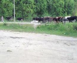 Урал врезался в стадо коров