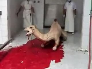 Убийство верблюда
