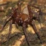 Little Spider, Big Trouble, Cicurina Venii, Delaying Construction in Texas  от pab за 17 sep 2012