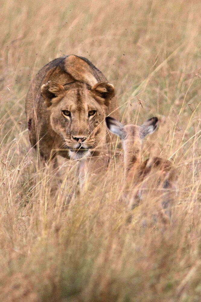Lioness Befriends baby Antelope