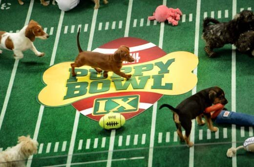 Puppy Bowl 2013 for those who like Puppies more than Football