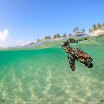 This Little Baby Loggerhead Sea Turtle Swims for Thousands Miles to Survive