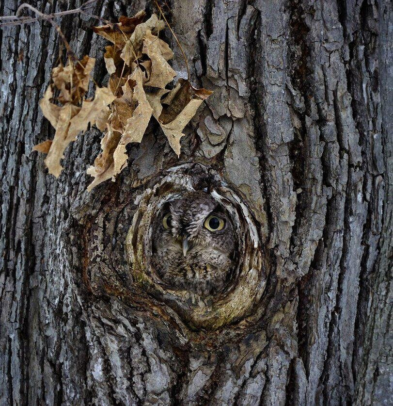 Creepy Pictures of Owls Hiding in a Tree
