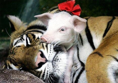 Tiger Adopts Piglets as Her Own Kids