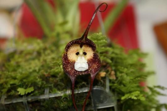 Monkey Faced Flower