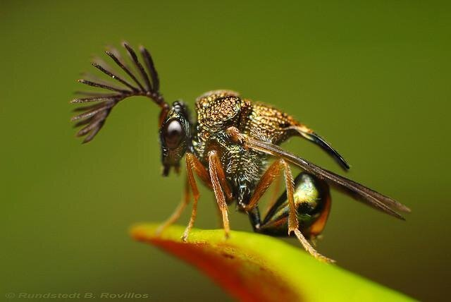 Eucharitid Wasp, What A Punk