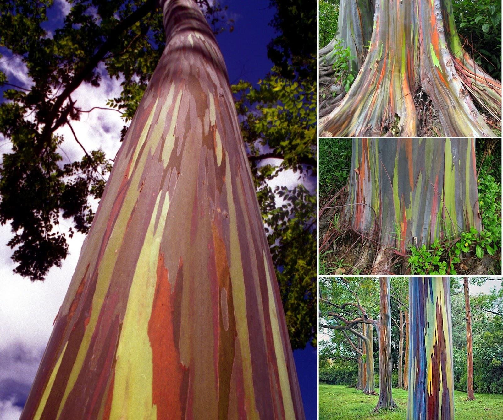 Beautiful Rainbow Eucalyptus Tree