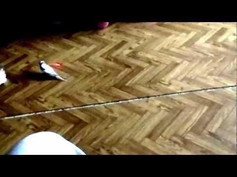 Cat and Parrot Chase Laser Pointer Together от Marinara за 20 mar 2013