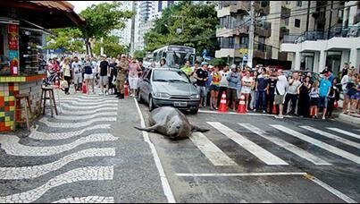 Sea Lion Walks the Streets of Brazil от Marinara за 21 mar 2013