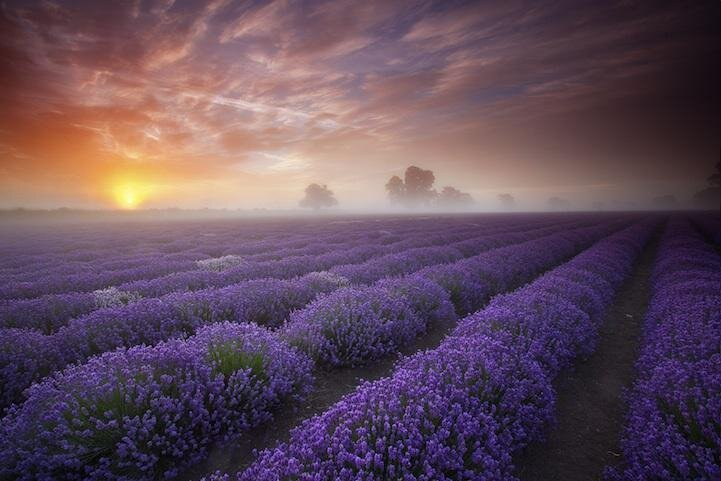 Magical Somerset Lavender Field