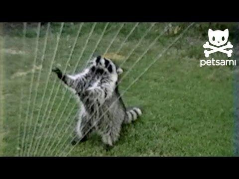 Raccoon Plays Sprinkler Like a Harp