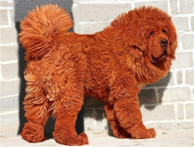World's Most Expensive Dog, $1.6 Million for Tibetan Mastiff