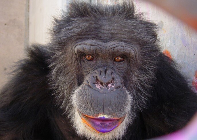 Colorful, creative paintings by rescued chimpanzees от Helen за 21 aug 2013