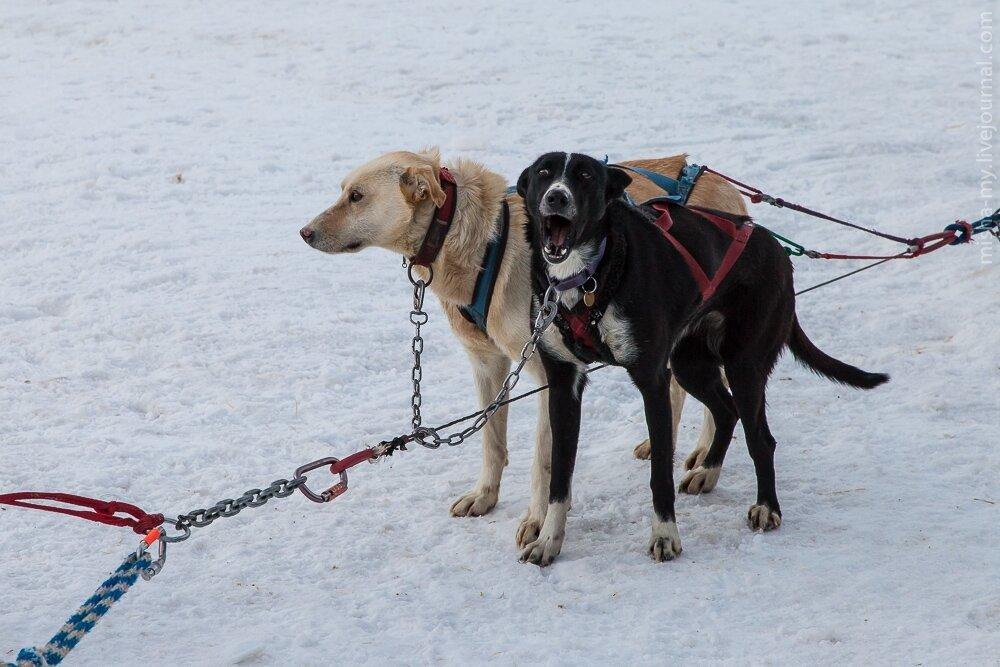 Катание на ездовых собаках в Колорадо