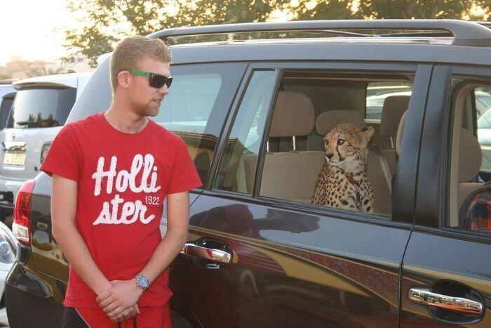 Дикие животные в автомобилях (14 фото)