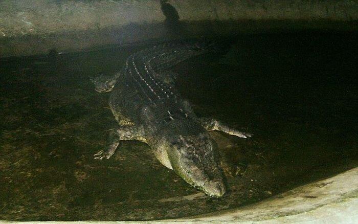 Самый большой в мире крокодил умер (5 фото)