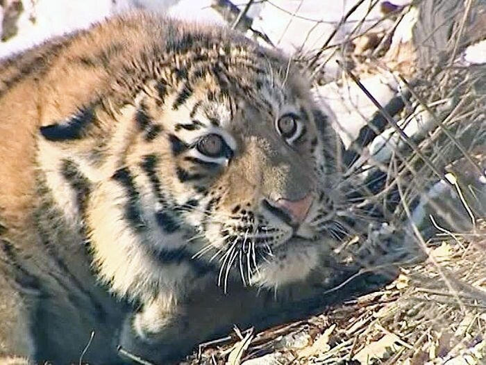 Приморские полицейские спасли амурского тигра (фото+видео)