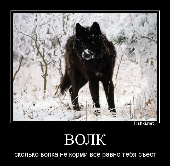 Волк от zubrilov за 31 мая 2013