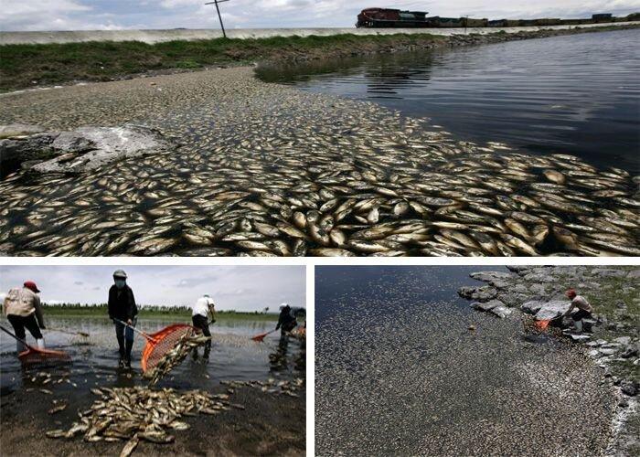 В Мексике выловили 500 тонн мертвой рыбы (4 фото)