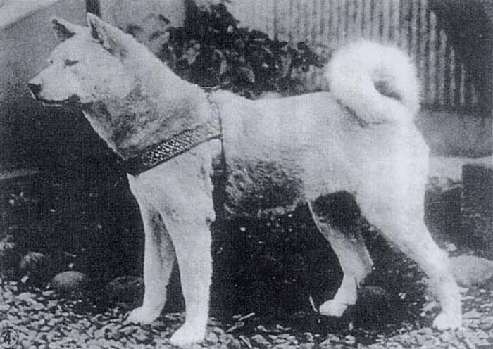 Хатико - самый верный в мире пес (7 фото)