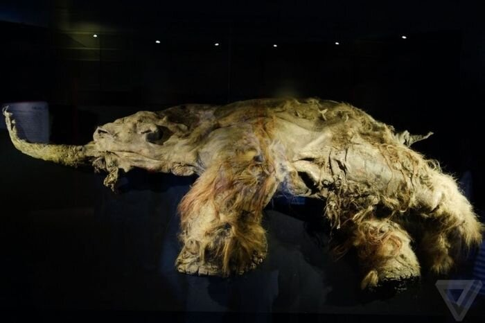 Самый известный мамонт из Якутии: Юка (15 фото)