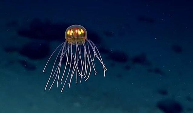 Удивительная медуза-пришелец из Марианской впадины
