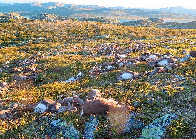 В Норвегии молния разом убила 323 диких оленя