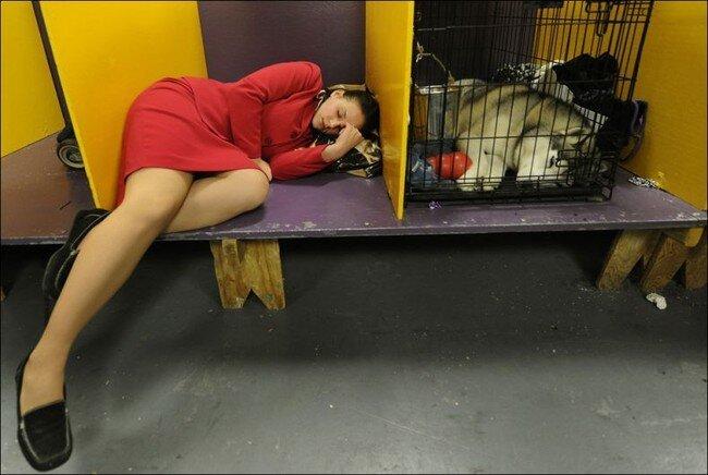 Конкурс собак Westminster Kennel Club Dog Show (43 фото)