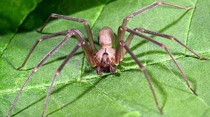 Каково быть укушенным пауком-отшельником (12 фото)