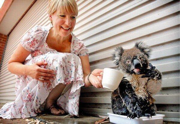 Ручные коалы, утренний позитив (21 фото)