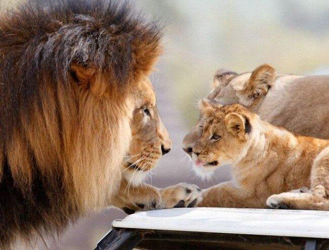 Львиная семейка (17 фото)