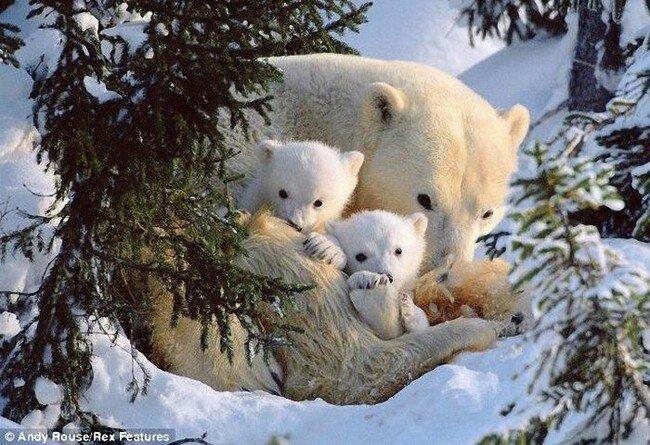 Белые медвежата (6 фото)