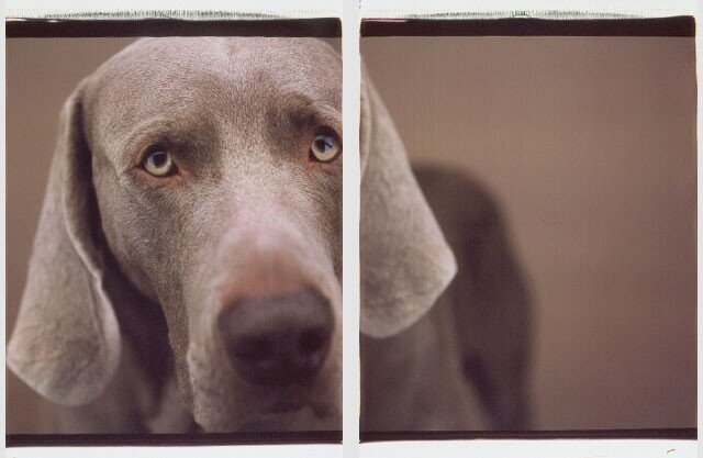 Фотографии собак от William Wegman (72 фото)