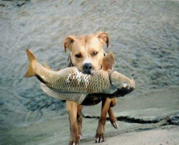 Рыбалка по-собачьи (8 фото)