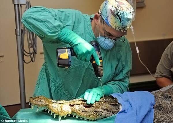Крокодилу сделали операцию на челюсть (4 фото)