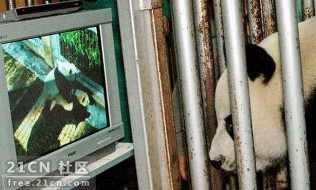 Панды изучают порно (6 фото)