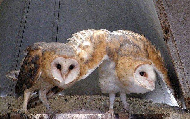 Гипно-совы (2 фото + 2 гифки)