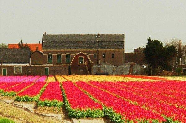 Тюльпаны в Голландии (80 фото)