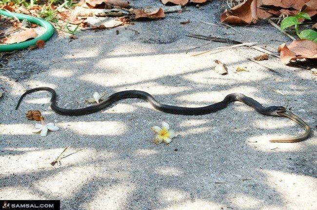 Змея пожиратель (10 фото)