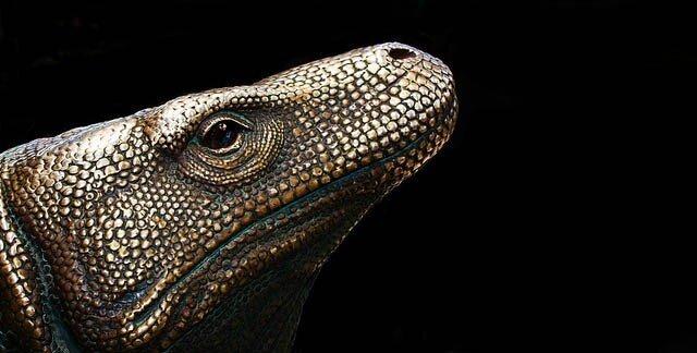 Комодский дракон (16 фото + видео)