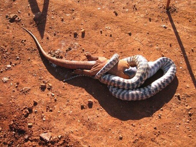Как змея съела игуану (11 фото)