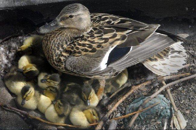 Утки спасены! (15 фото + видео)