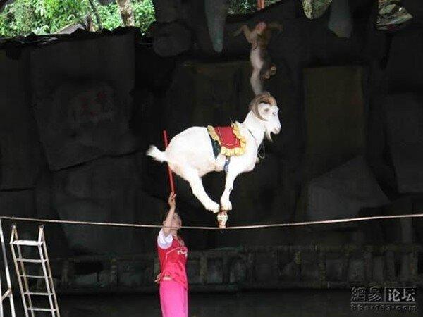 Коза на веревке (6 фото)