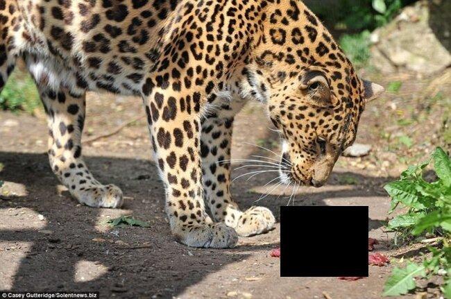 Обокрал леопарда (3 фото)