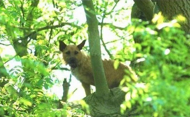 Собака на дереве (6 фото)
