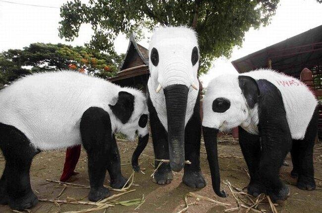 Панда-слоны в Таиланде (11 фото)