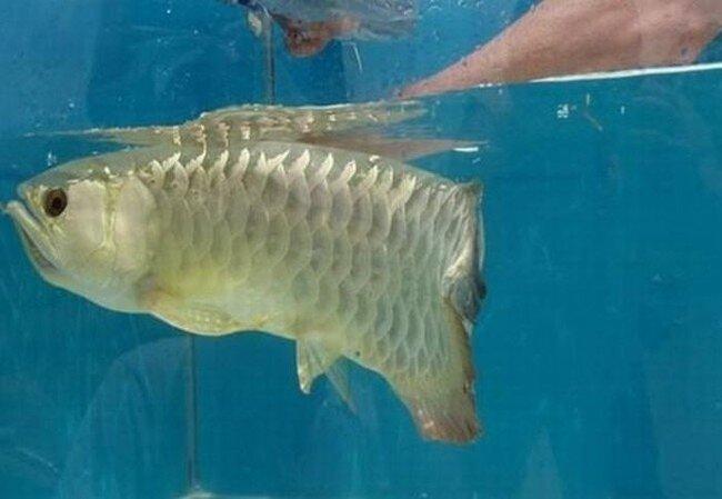 Рыба арована (5 фото)